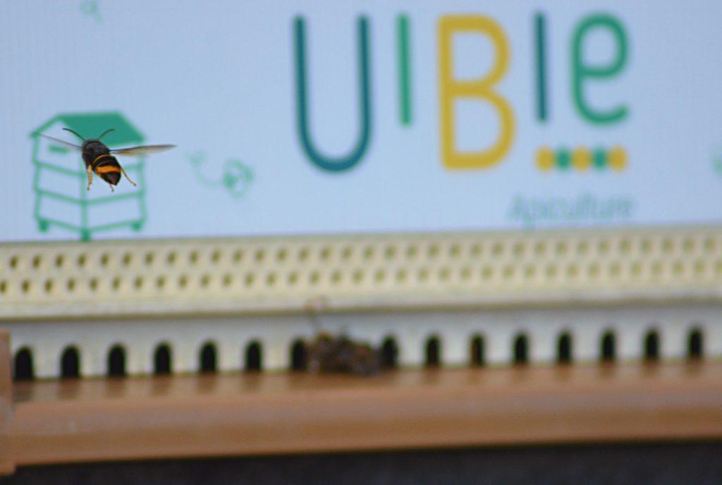 Frelons asiatique Uibie