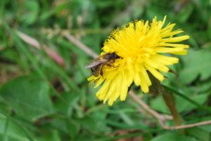 abeilles et fleurs jardin